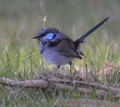 superb fairy wren In eclipse