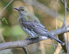 Immature olive backed oriole