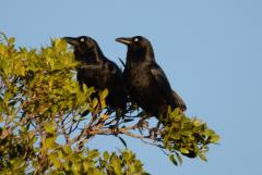 Stone the crows !  ...actually a pair of Australian ravens....