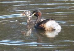Australasian Grebe with young