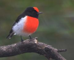 red-capped-robin.JPG
