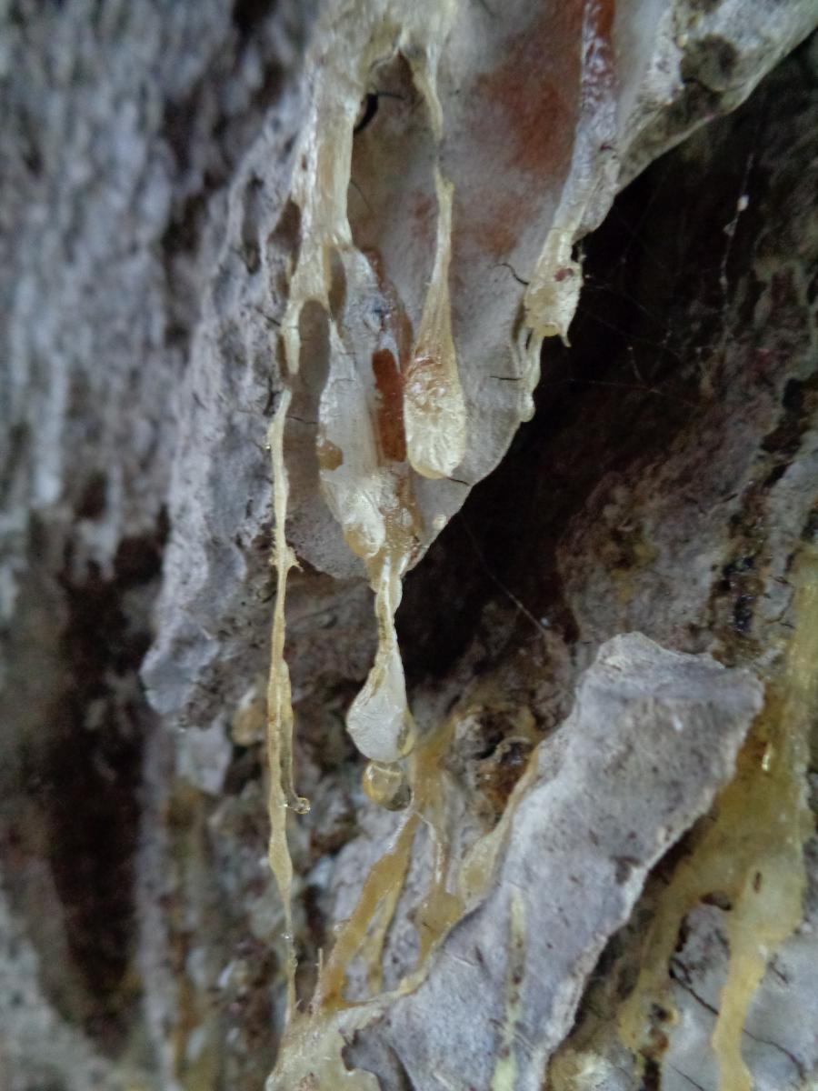 Wounded Tree dripping Sap.JPG