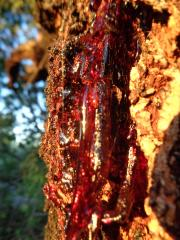 Red Sap Flowing.JPG
