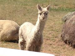 our newest baby alpaca- a suri!
