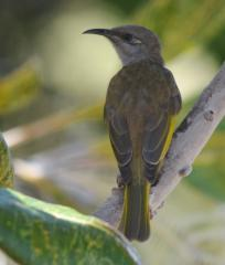 56fe9977afb69-brownhoneyeater.JPG