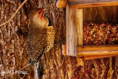 Northern Flicker,